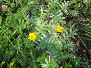 Oland flora